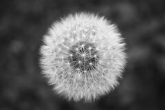 Dandelion seed head in black and white Stock Image