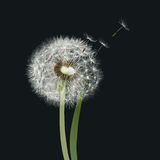 Dandelion seed head [ blow ball ]. Hand drawn vector illustration representing a dandelion seed head on dark background Royalty Free Stock Photos
