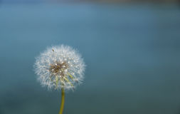 Dandelion seed head with blue background. Dandelion seed head with the blue sea in the background. Seeds intact Stock Images
