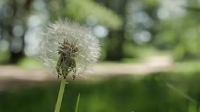 Dandelion Seed Head ,on blurry background, close-up. stock video