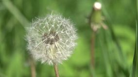 Dandelion Seed Head. Dandelion Seed Head ,on blurry background,macro close-up. Dandelions, dandelion meadow, white flowers in green grass. 4K video stock video