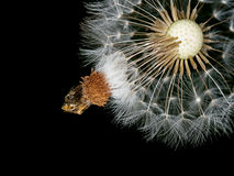 Dandelion seed head, clock over black background. With some peta. Nature detail, background. Time to let go. Psychology, wellbeing metaphor Stock Image