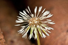 Dandelion seed head close up Royalty Free Stock Images