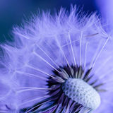 Dandelion seed head close up - abstract Royalty Free Stock Image