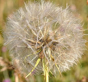 Dandelion Seed Head Close Up Royalty Free Stock Photography