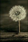 Dandelion seed head. Closeup of a dandelion flower with a seed head on a wooden background Stock Photography