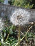 Dandelion seed head Stock Photos