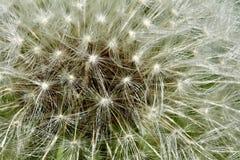 Dandelion seed head closeup. Closeup of a ripe dandelion seed head Stock Photography