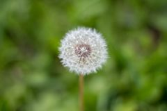 Dandelion seed head. Closeup of a single dandelion seed head against a blurred green nature background Royalty Free Stock Photography