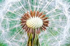 Dandelion seed head. Abstract dandelion flower background, extreme closeup Macro with soft focus, beautiful nature details. Soft dreamy tender artistic image Stock Image