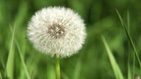 Dandelion Seed Head. Dandelion Seed Head ,on blurry background,macro close-up. Dandelions, dandelion meadow, white flowers in green grass. 4K video stock footage