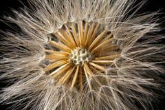 Dandelion seed head details Stock Image