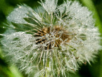 Dandelion seed head and dew Royalty Free Stock Photo