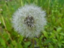 Dandelion. The seed head of dandelion flower Stock Photo