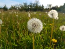 Dandelion Seed Head and Flower royalty free stock photo
