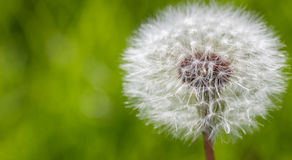 Dandelion seed head flower in green blurred background, copy space Stock Image