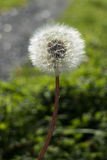 Dandelion seed head in the forest Royalty Free Stock Photo