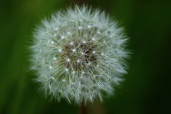 Dandelion. A Dandelion seed head with a full set of seeds Royalty Free Stock Images