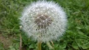 Dandelion seed head in grass Royalty Free Stock Images