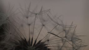 Dandelion seed head royalty free stock images