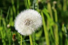 Dandelion seed head Royalty Free Stock Image