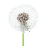 Dandelion seed head isolated on white background.  stock photography