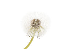 Dandelion ( seed head) isolated. On white background stock images