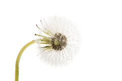 Dandelion ( seed head) isolated. On white background royalty free stock photo