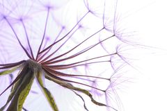 Dandelion seed head on light background Royalty Free Stock Photos
