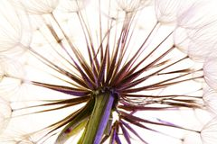 Dandelion seed head on light background Stock Photography