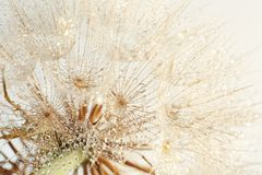Dandelion seed head on light background Royalty Free Stock Photography