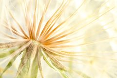 Dandelion seed head on light background Royalty Free Stock Image