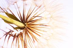 Dandelion seed head on light background Stock Images