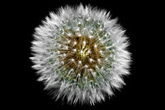Dandelion seed head Royalty Free Stock Photography