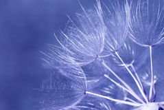 Dandelion seed head macro shot Royalty Free Stock Photo