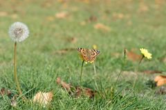 Dandelion seed head and painted lady butterfly in a meadow stock photo