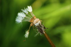 Dandelion. A Dandelion seed head with some of the seeds having been blown away Stock Photography