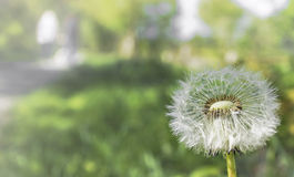 Dandelion seed head. With strong blurred background Royalty Free Stock Photography