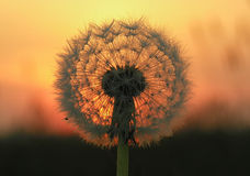 Dandelion Seed Head at Sunset. Macro of Dandelion Seed Head, Clock, with Sunset Background stock image