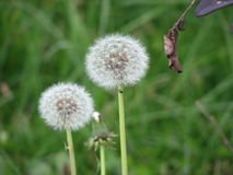 Dandelion seed head. Royalty Free Stock Images