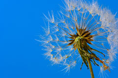 Dandelion Seed head  (Taraxacum officinale) against clear blue sky Stock Image