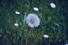 Dandelion seed head (Taraxacum officinale) in the field ready to fly. Plant wind flower stem blowball beauty nature clock morning change tranquil stock photography