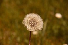 Dandelion seed head (Taraxacum officinale) in the field ready to fly. Plant wind flower stem blowball beauty nature clock morning change tranquil stock images