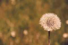 Dandelion seed head (Taraxacum officinale) in the field ready to fly. Plant wind flower stem blowball beauty nature clock morning change tranquil stock photos