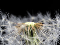 Dandelion seed head taraxacum officinale Royalty Free Stock Photography