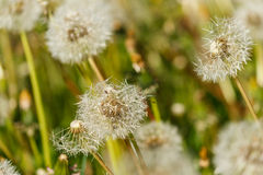 Dandelion seed heads Royalty Free Stock Photos