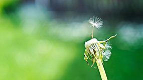 Dandelion and seed on a hot summer day in the fresh green background Stock Photography