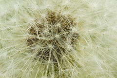 Dandelion Seed Macro Royalty Free Stock Images
