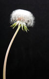 Dandelion Seed Pod. A dandelion seed pod against a black background Stock Photo