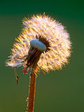 Dandelion Seed pod Royalty Free Stock Photo